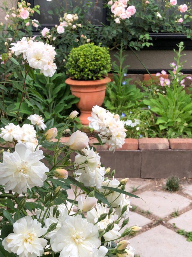 庭のバラは花盛り